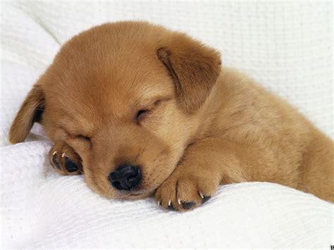 golden retriever puppy sleeping sleeping golden retriever puppies wallpaper