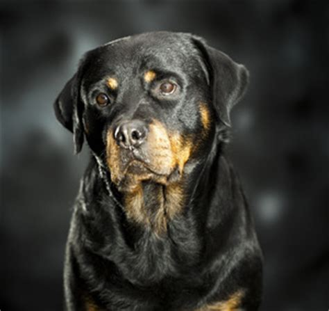 senior rottweiler all about canine hip dysplasia a of rottweilers
