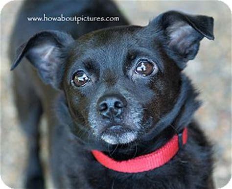 chihuahua pug mix black may adopted atlanta ga chihuahua pug mix