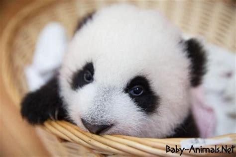 baby panda baby animals