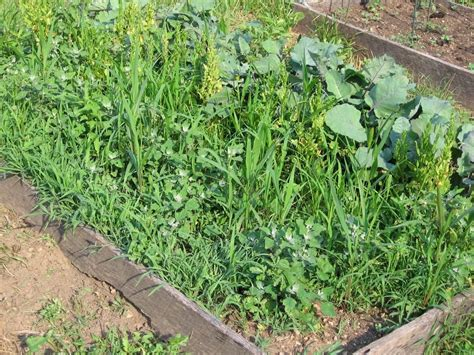Vegetable Garden Weeds In My Kitchen Garden How To Use A Scuffle Hoe To The