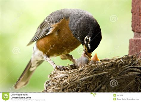 mother robin feeding babies royalty free stock image