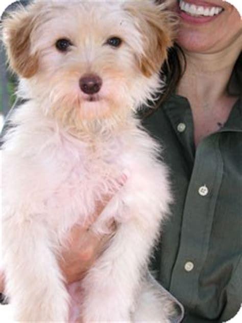 havanese terrier mix butterscotch adopted santa ca havanese wheaten terrier mix