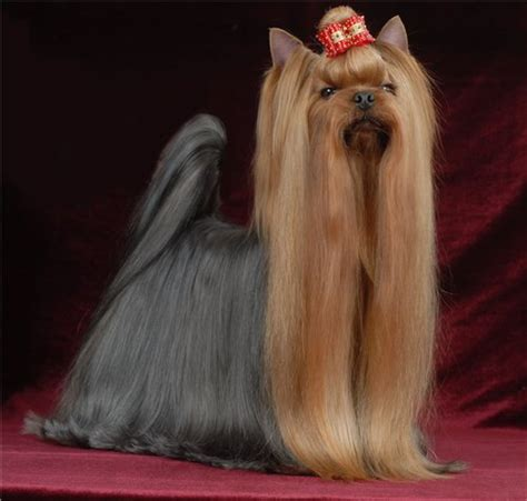 yorkie behavior problems terrier general features temperament health problems