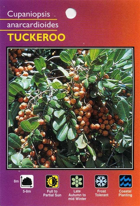 Wholesale Fruit Trees - tuckeroo cupaniopsis anarcardioides