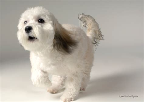 havanese haircut styles grandview havanese biewer dogs puppies hairstyles ideas