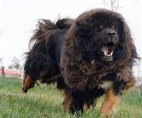 big russian big russian breeds pet photos gallery 7gbxbj72dr