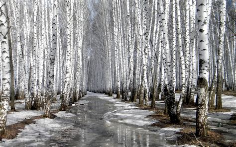 Tuscany Wall Murals row of birches in the winter 2560 x 1600 forest