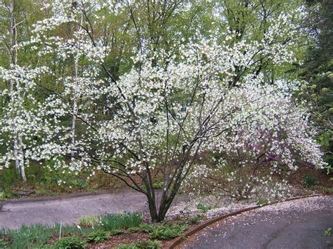 u of mn cherry trees 51 best plants images on plants landscaping ideas and garden plants