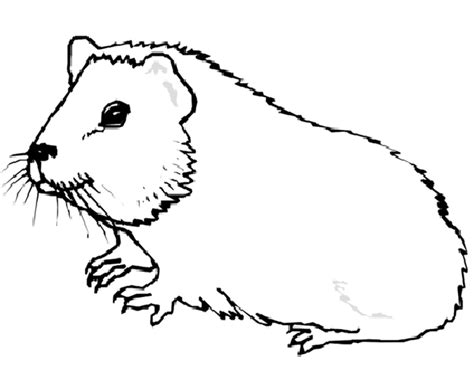 coloring page of a guinea pig guinea pig coloring pages coloringpages1001 com