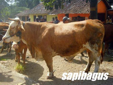 Timbangan Untuk Sapi hukum memotong sapi betina untuk qurban sapibagus