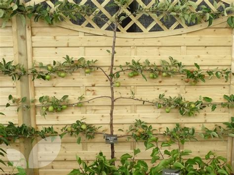 espalier fruit trees mail order