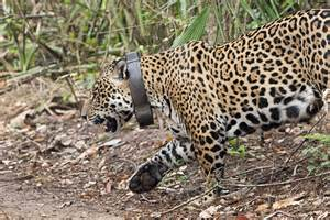 Are Leopards And Jaguars The Same Spot The Difference Jaguars Vs Leopards Oncafari