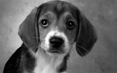 black and white beagle puppies animals birds animals black and white puppy beagle wallpaper 1024x640