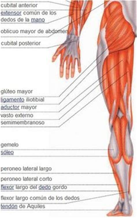imagenes impresionantes del cuerpo humano 1000 images about m 218 sculos del cuerpo humano on pinterest