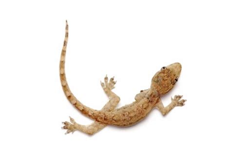Feeder House Geckos feeder geckos for sale reptiles for sale