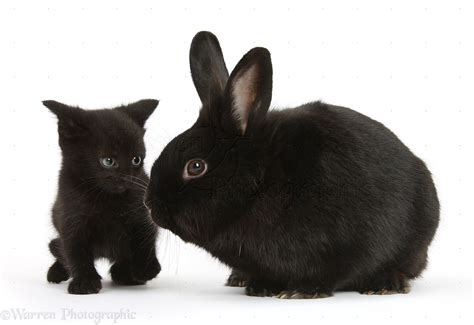 animal mating rabbit cat bunny cat mate pets black kitten 7 weeks and black rabbit photo