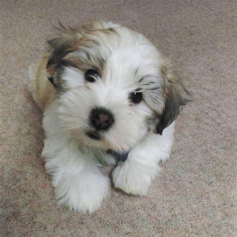 coton de tulear puppies for sale coton de tulear cross puppies for sale in grayshott surrey gumtree
