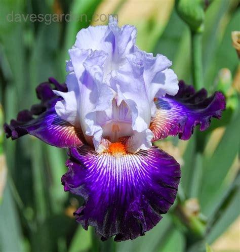 bearded iris flower homes bearded irises flowers