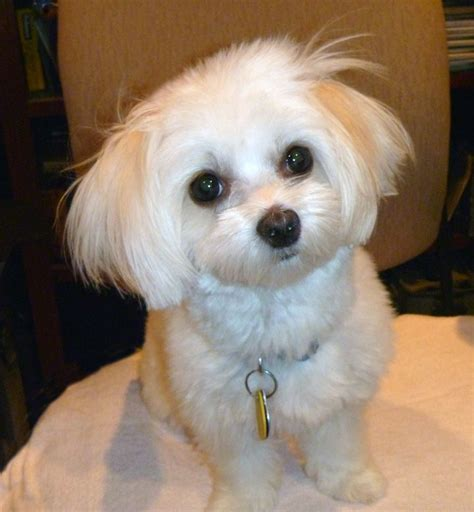 havanese rescue md 266 best images about havanese on westminster show and