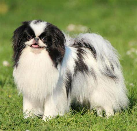 i cant haircut for japanese chin chin razza canina wikipedia