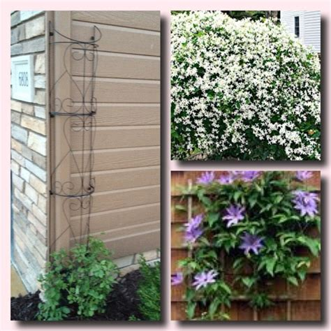 Downspout Trellis I M Excited Two Clematis One Is White Sweet Autumn