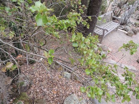 Botanical Gardens Northern California Plantfiles Pictures Palmer S Oak Quercus Palmeri By Palmbob