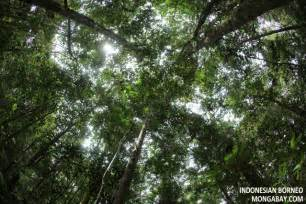 Canopy Layer Rainforest by Tropical Rainforest Canopy Trees Www Imgarcade Com