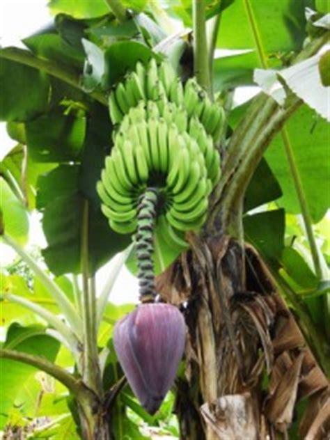fiori di banano fiore di banano fare di una mosca