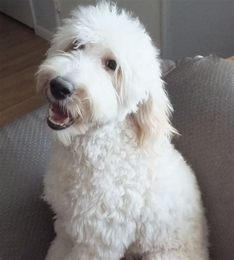 white labradoodle puppies the gallery for gt apricot and white labradoodle