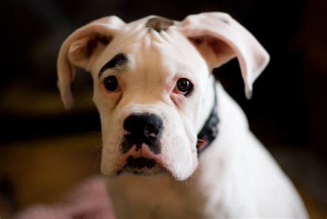 white boxer puppy the boxer personality revealed