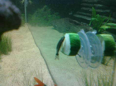 Aquarium Bending Candila 450 diy underwater vegetable feeder petdiys