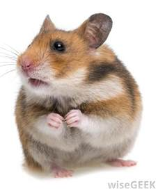 what are the different types of hamsters with pictures