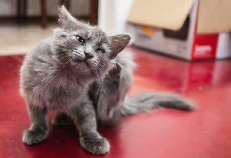 giving a benadryl can you give a cat benadryl pet guardian of america