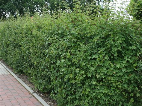 feldahorn als hecke eurogreens kunstpflanzen efeu hecke - Feldahorn Als Hecke