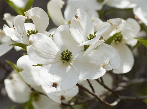 north carolina flower dogwood north carolina s state flower north carolina
