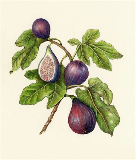 fig botanical artistry