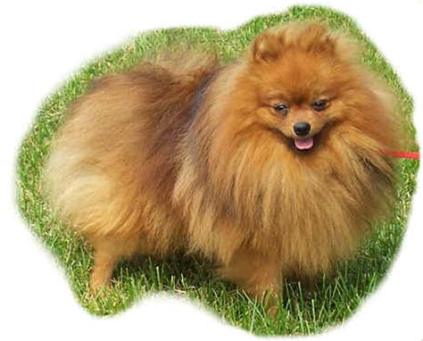 pomeranian puppies ontario classypoms pomeranian puppies for sale in ontario canada