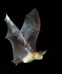 Bats In Battle Of The Baja Bats Todos Santos Eco Adventures