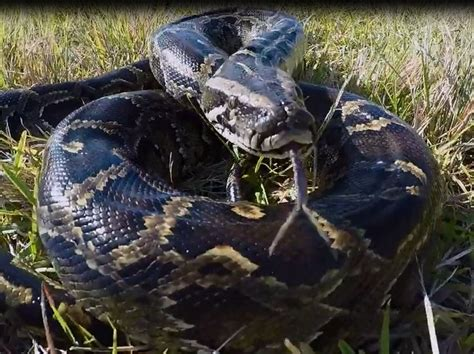 florida python challenge ocala post fwc releases quot snakes quot throughout florida