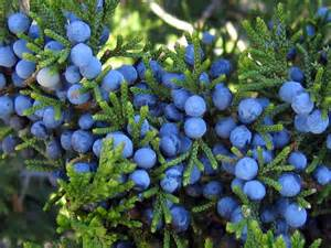 Juniper not your usual berry