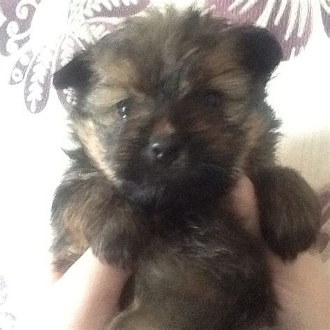 pomeranian x terrier pomeranian x tea cup terrier st leonards on sea east sussex pets4homes