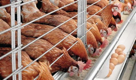 2015 nigeria poultry business plan for layers and broilers how to start poultry farming in nigeria 187 a beginner s