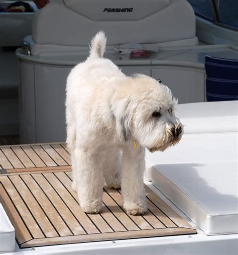 short haired wheaten terrier how to cut their hair soft coated wheaten terrier puppy cut ma
