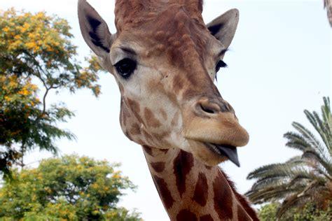 imagenes de jirafas con reflexion jirafa