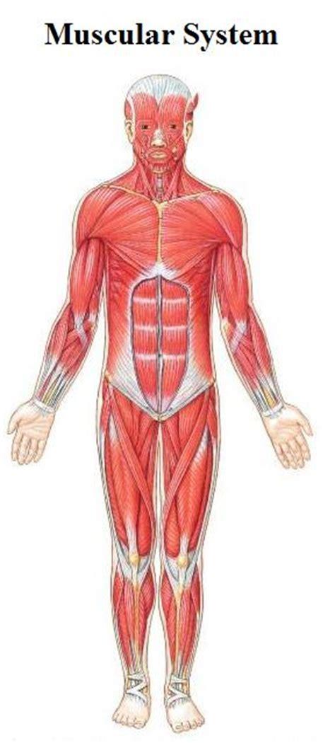 muscular system diagram human diagram for
