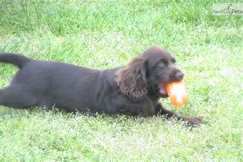 boykin spaniel puppies for sale in sc boykin spaniel puppy for sale near greenville upstate south carolina 8a8c77f7 7321