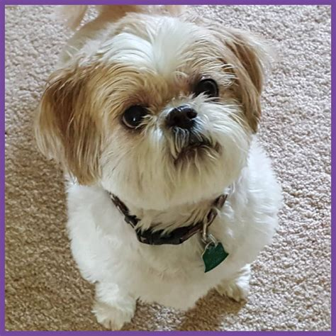 shih tzu pet rescue ozzie northstar shih tzu rescue