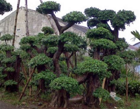 Pohon Bodhi Kecil Sedang Besar 21 tanaman yang biasa ada di taman dan fungsinya