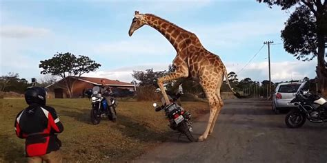 Happy Girafee Suit this giraffe tried to ride a motorcycle he failed but we